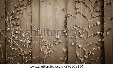 Dried climber ivy, hedera on old wooden board background - stock photo