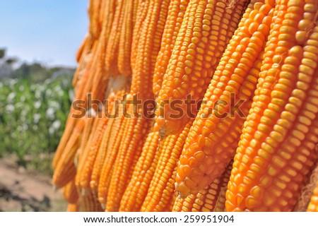 Dried corn cobs - stock photo