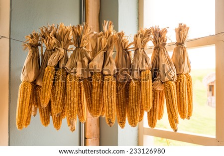 Dried corn cobs decorations in the corner room - stock photo