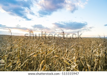 dried corn field at sunset