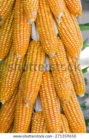 Dried corn hung up in harvest time - stock photo
