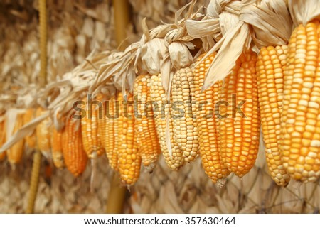 Dried corn on cobs hung