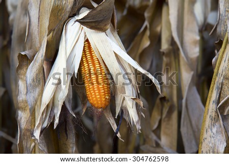 Dried corn on the field - stock photo