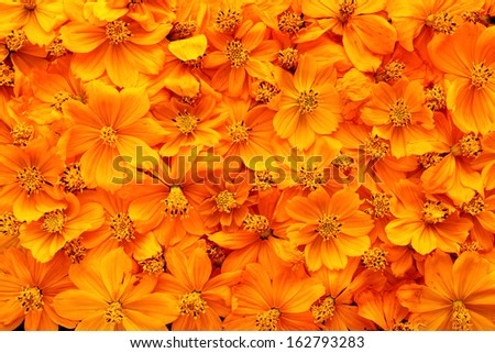 Dried cosmos flowers background