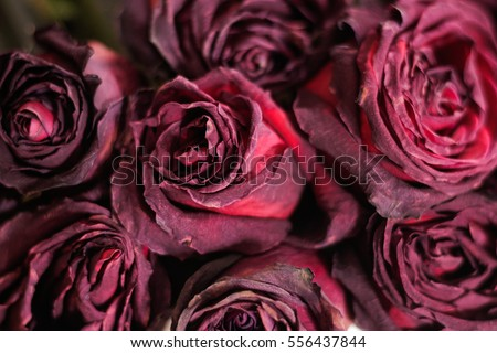 Dried Dead Flowers Red Rose Wilted Roses