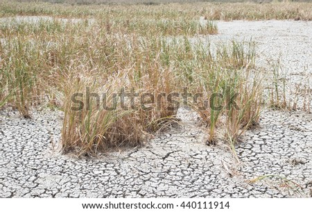 dried dead grass on dry earth and cracked ground texture, broken split soil land - stock photo