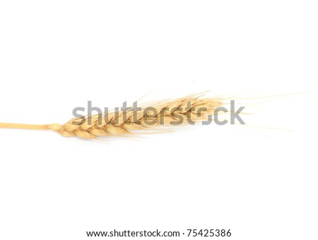 Dried Ear of Cereal crop in studio isolated against white background.