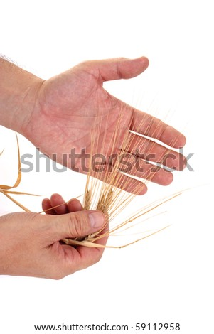 Dried ears of rye in the hands isolated on white background