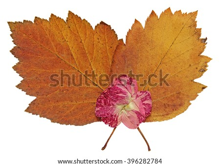 dried fall leaves of plants, flowers and branches, isolated elements on white  background for scrapbook, object, roughage autumn leaf, pink rose - stock photo
