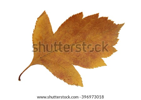 dried fall leaves of plants, flowers and branches, isolated elements on white  background for scrapbook, object, roughage autumn leaf Ikebana, herbarium - stock photo