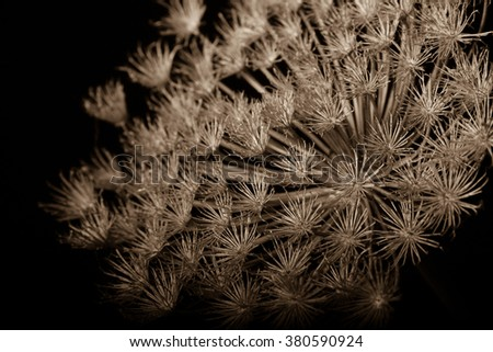 Dried fennel flower still life - stock photo