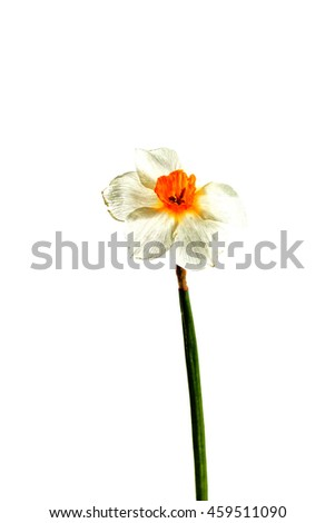 Dried flower on background. Isolated. For use in collage or some over work. Flower dried in natural conditions with save it three-dimensional structure. Narcissus