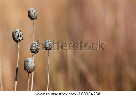 Dried flower on prairie - stock photo