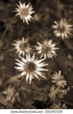 Dried flowers. Sepia effect. - stock photo