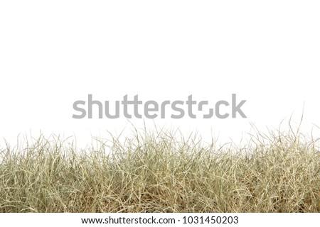 dry grass field background. Dried Grass Isolated On White Background.dry Field. Dry Field Background O