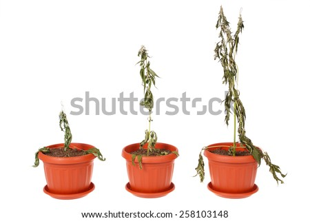 Dried hemp (cannabis) in a flowerpot on white background - stock photo