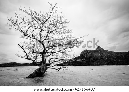 Dried Lone Tree on Con Dao Island, Vietnam