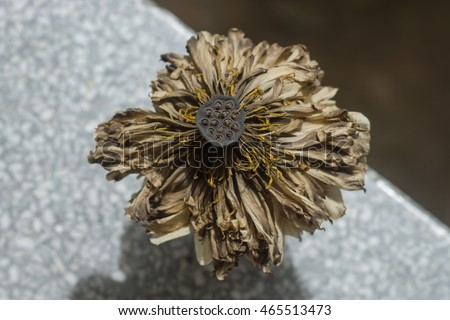 Dried lotus flower stock photo royalty free 465513473 shutterstock dried lotus flower mightylinksfo