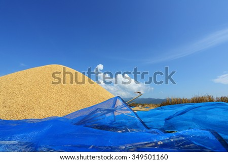 Dried paddy heap on blue canvas, postharvest with blue sky background