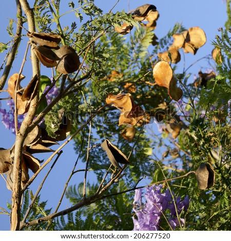 Dried pod seeds of purple-blue Southern California Jacaranda - stock photo