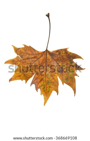 Dried red and brown maple leaf on isolated white background.