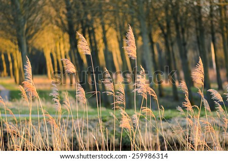 Dried reed - wetland plant on wind by the river. Blurred motion. The species is invasive, grows by the river or lake-side, woods with sun reflections at the background, trees crooked from wind. - stock photo