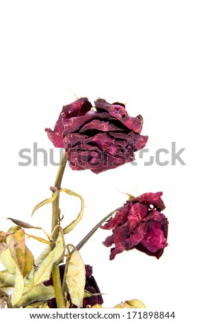dried rose flower - stock photo