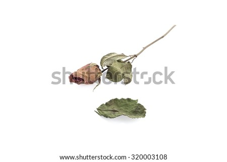 Dried rose isolated on white background.