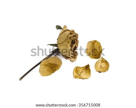 Dried rose isolated on white background