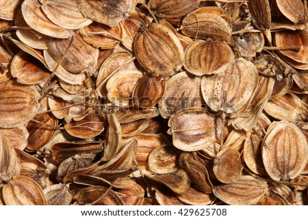 Dried, round, brown seeds of parsnip (Pastinaca sativa) fill the frame - stock photo
