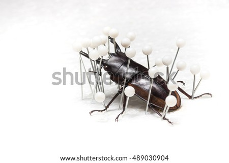 Dried Stag Beetle, Dry Preservation Beetle pinning process on white background