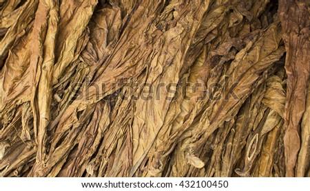 Dried tobacco leaves, tobacco leaf background, raw tobacco leaf under sun, cigarette ingredient raw tobacco, tobacco leaf pile, bunch of raw tobacco leaves, natural tobacco, smoking tobacco leaf mound - stock photo
