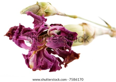 Dried-up carnation on white background. - stock photo