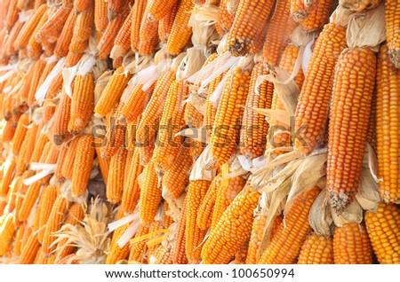 Dried yellow corn background - stock photo