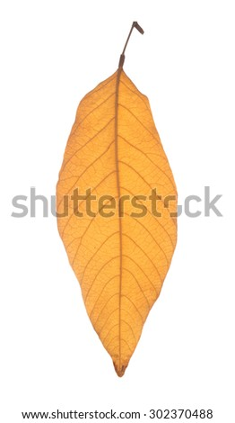 Dried yellow leaf isolated on white background - stock photo