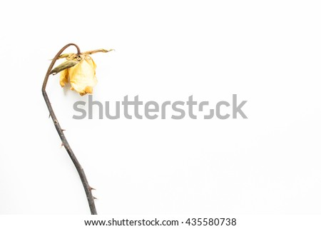 Dried yellow rose flower isolated on white background. - stock photo