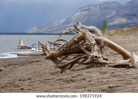 Drift Wood  at Jasper lake Canada - stock photo