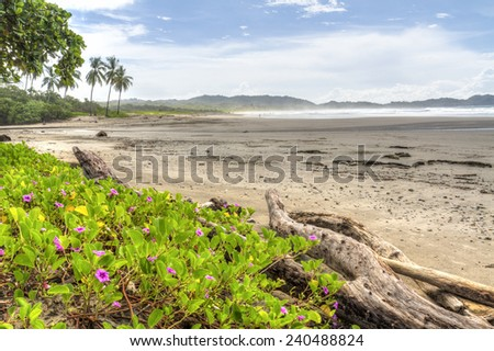 Driftwood and flowery vegetation on a misty morning at Playa Guiones in Nosara, Costa Rica - stock photo