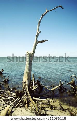 Driftwood Tree - stock photo
