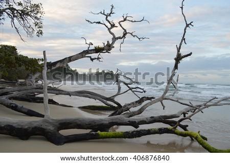 Driftwood Tree on Red Frog Beach, Bocas del Toro - stock photo