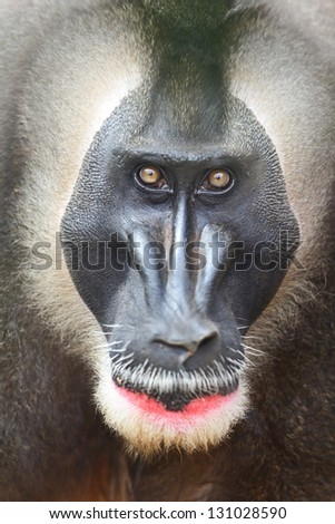 Drill monkey male primate looking intimidating, angry and upset at camera. The drill is an endangered African primate. - stock photo