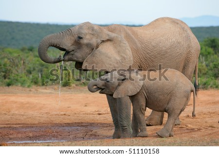 Drinking African elephants (Loxodonta africana), Addo Elephant National park, South Africa - stock photo