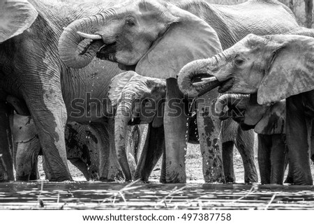 Drinking Elephants in the in black and white Kruger National Park, South Africa.