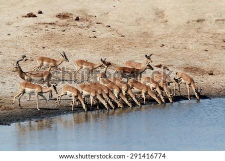 drinking herd of impala in Hwankee national park, Botswana - stock photo