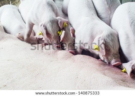 Drinking piglets and a pig in a stable