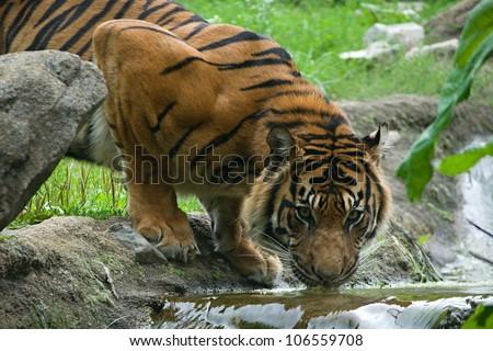 drinking tiger - stock photo