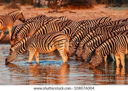 Drinking Zebra (Equus quagga) at sunset in Etosha National Park, Namibia - stock photo