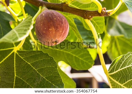 Dripping ripe fig on the tree, soft focus - stock photo