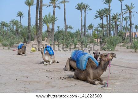 Dromedar Camels near Bedouin Oasis - stock photo
