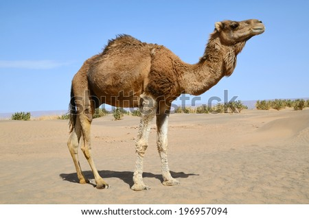 Dromedary camel in the sahara Desert in Morocco